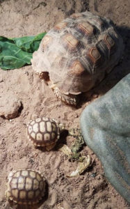 Sulcata Tortoise with babies